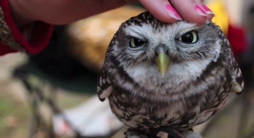 Lovely-Owl-3